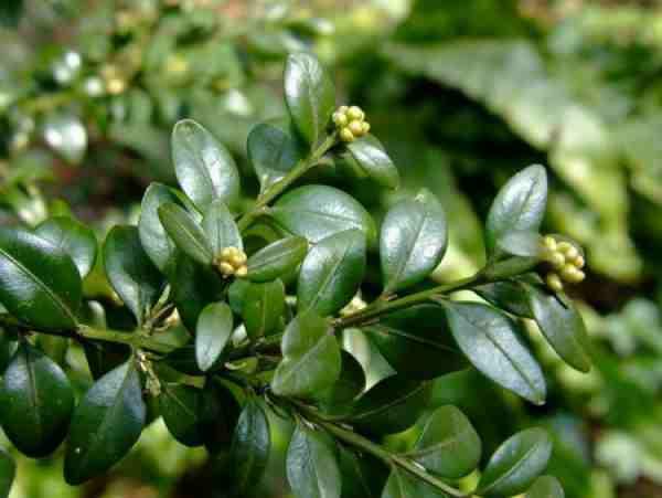 Planta care traieste pana la 600 de ani, cel mai puternic remediu natural impotriva bolilor
