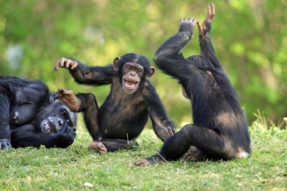 Cimpanzeii ar putea obtine statutul legal de