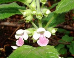 Sanatate: Dumbravnicul, un adevarat medicament din natura