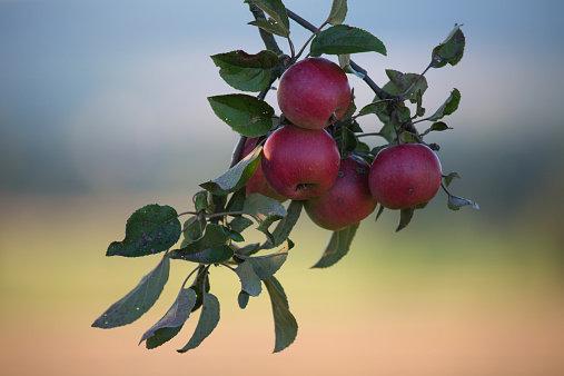 10 reguli de urmat atunci când plantezi un pom fructifer