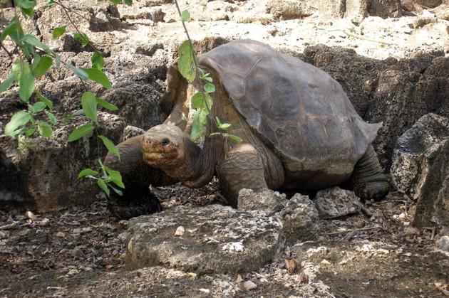 Biologii anun??: Broasca ?estoas? de Galapagos, specie pe cale de dispari?ie, a fost salvat?