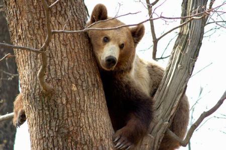 Ministerul Mediului demareaz? consult?ri la nivel na?ional privind managementul popula?iei de urs brun din România