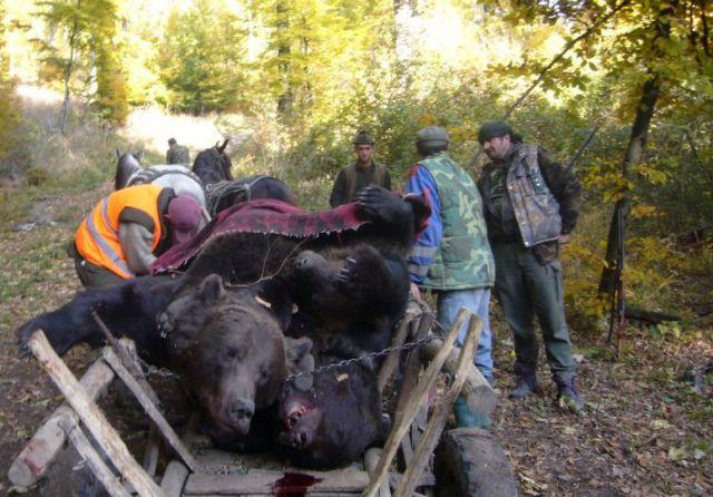 Asociatiile de vanatori vor cresterea cotei de vanat la urs. Guvernul majoreaza cota de vanatoare cu doua treimi fata de 2012