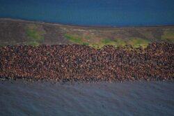 Zboruri deviate in Alaska, pentru a nu fi speriate morsele afectate de incalzirea globala