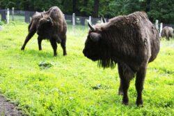 """Boala limbii albastre pune in pericol zimbrii din Rezervatia """"Slivut"""" de langa Hateg"""