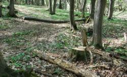 De ce continua padurile din judetul Cluj sa dispara?