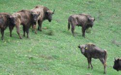 Rezervatia de zimbri Slivut - Hateg a fost redeschisa. Au ramas doar sase animale