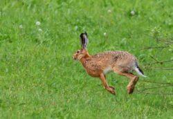 Scandal pe iepurii de camp