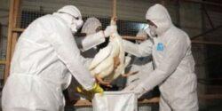 Olanda: 8.000 de pasari vor fi sacrificate pentru a preveni raspandirea epidemiei de gripa aviara
