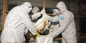 Olanda: 8.000 de p?s?ri vor fi sacrificate pentru a preveni r?spândirea epidemiei de grip? aviar?