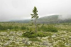 Old Tjikko, cel mai vechi copac din lume