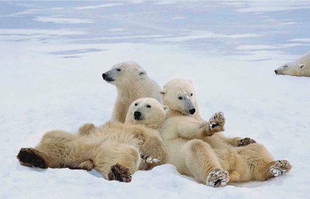 Ursul polar este de acum specie protejat? prin Conven?ia de la Bonn. Leul african nu a fost inclus din cauza lipsei de informa?ii
