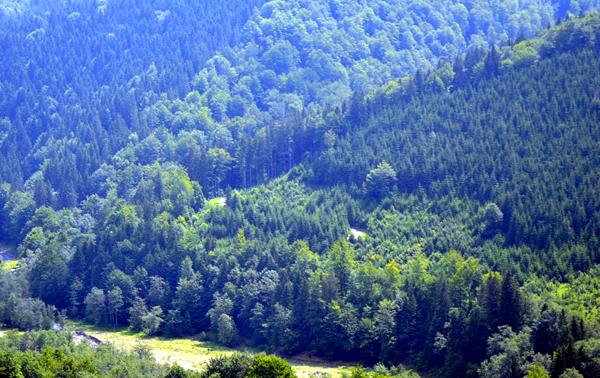 """Două arii protejate prahovene vor beneficia, în anii următori, de acţiuni pentru apărarea ecosistemelor pe baza unor planuri complexe de management realizat de specialişti, dar şi de o mai bună promovare turistică. Este vorba despre Pădurea Glodeasa din Valea Doftanei - una dintre puţinele păduri virgine din România - şi despre Lacul Bâlbâitoarea din comuna Bătrâni, ambele aflate în custodia Muzeului de Ştiinţele Naturii Prahova. Cele două zone sunt de o frumuseţe rară şi adăpostesc specii de plante, animale şi reptile ocrotite prin lege. Pădurea Glodeasa - o pădure virgină de circa 400 de ani - se află în proprietatea statului şi are 434,9 ha. Pădurile de fag de aproximativ 200 de ani, tufişurile alpine şi boreale, pădurile de fag de tip Luzulo-Fagetum sunt printre cele mai valoroase habitate de aici. Există şi alte plante rare, unele pe cale de dispariţie. Biologii fac eforturi să protejeze, mai departe, şi fauna, printre speciile ocrotite de lege fiind: Ursus arctos, Bombina variegata (o specie de broască), Triturus montandoni (o şopârlă). Lacul Bâlbâitoarea ( în foto) se întinde pe 3 ha şi este în proprietate privată în procent de aproape 100%. Acesta are zone cu turbării active (zone mlăştinoase, bogate în vegetaţie, din ale căror resturi se formează turba- un tip de cărbune), fiind situat în cea cea mai sudică parte a continentului european. Printre speciile de plante protejate de lege se află Roua cerului - o plantă carnivoră unică în România (în foto). De asemenea, în aria protejată se află Bombina variegata, dar şi alte specii de vieţuitoare de importanţă deosebită. În 2012, Muzeul de Ştiinţele Naturii Muzeul (care este custode pentru cele două situri) a lansat proiectul """"Fundamentarea Managementului Conservativ şi Participativ al siturilor Natura 2000 Pădurea Glodeasa şi Lacul Bâlbâitoarea din judeţul Prahova"""", ce beneficiază de fonduri europene (1.327.900 lei). Cele două obiective sunt catalogate drept situri de importanţă comunitară şi era nevoie de o as"""