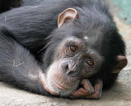 Decizie a unui tribunal american: cimpanezii nu au acelea?i drepturi ca ?i oamenii