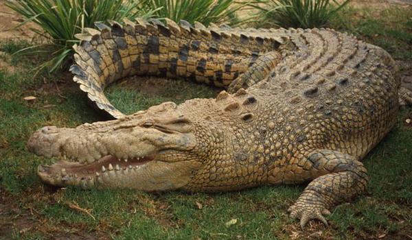 """Crocodilii sunt inruditi indeaproape cu pasarile, dar, spre deosebire de acestea, ei sunt """"blocati in trecut"""""""