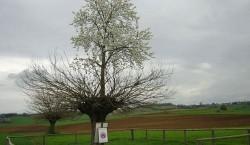 In regiunea italiana Piemonte, un cires se dezvolta pe trunchiul unui dud