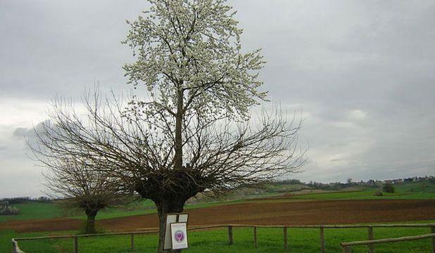În regiunea italiană Piemonte, un cireş se dezvoltă pe trunchiul unui dud
