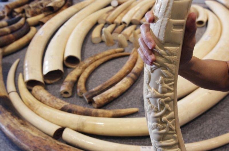 Afacerile cu fildes aduc profituri uriase in China, dar tot mai multi elefanti sunt sacrificati