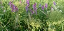 Idei de afaceri. Plante medicinale si aromatice cultivate in sistem ecologic
