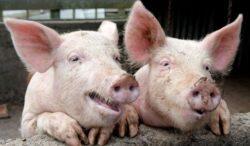 De ce nu este bine sa mancam carne de porc?