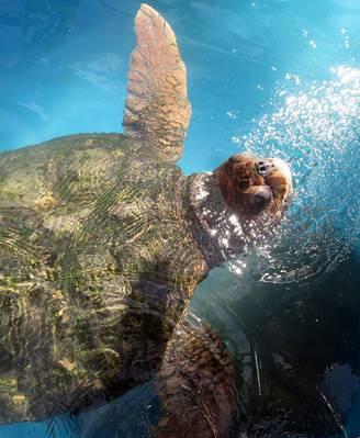 O specie de broaște țestoase respiră prin fund