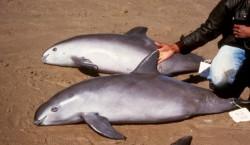 Cel mai amenintat mamifer marin din lume ar putea disparea in 4 ani