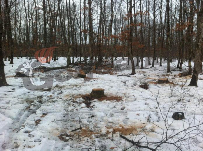 Pădurar de la Ocolul Silvic Cărbuneşti, acuzat că a defrişat masiv pădurea Jupâneşti