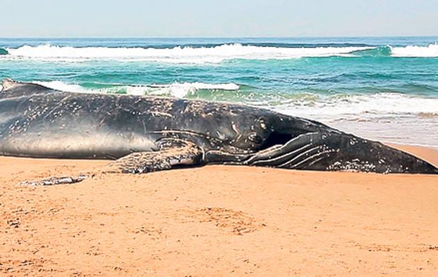 Balenă ucisă de o carcasă de DVD
