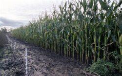 """Stiinta: """"Firewall"""" pentru izolarea organismelor modificate genetic"""