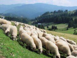 Intr-o comuna din Sibiu, fermierii cresc oile doar cu produse ecologice