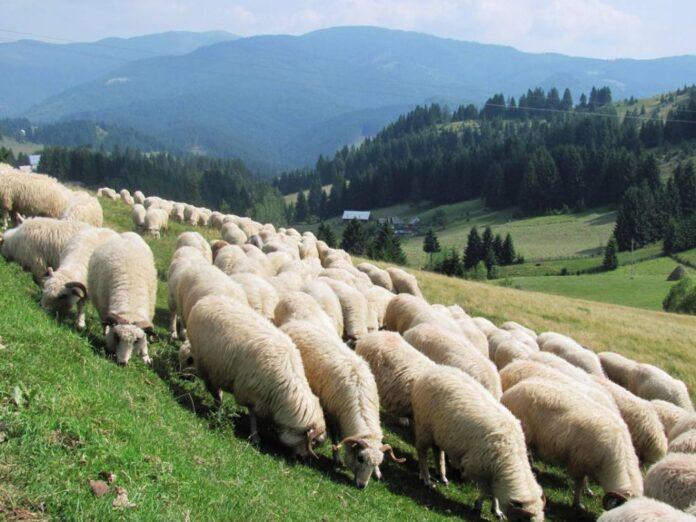 Expozitie de ovine crescute ecologic cu vanzare prin licitatie la Vurpar, jud. Sibiu