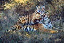 WWF: Populatia de tigri a crescut semnificativ in India