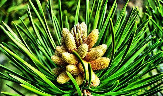Sănătate: Siropul din muguri de pin, cel mai bun remediu pentru tuse