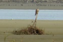 Actiuni pentru salvarea soimului dunarean