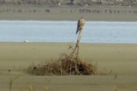 Acțiuni pentru salvarea șoimului dunărean