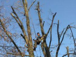 Rosal taie ilegal copacii din Baia Mare. Garda de Mediu, se aude?