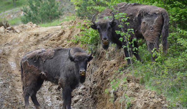 Noi zimbri in rezervatia de la Armenis