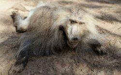 Lasate sa moara de foame: sfarsitul tragic al animalelor de la o gradina zoologica din Fasia Gaza