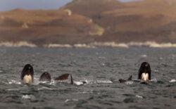 Dezastru ecologic: Balene esuate in Noua Zeelanda