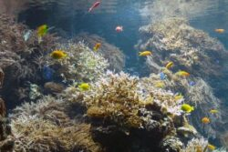 Coralii din Marea Bariera de Corali ingereaza plastic