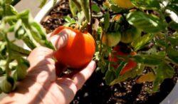 Subventii mai mari pentru culturile ecologice
