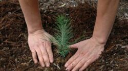 Misiune de impadurire. Militari NATO au plantat peste 1000 de pomi la Costinesti