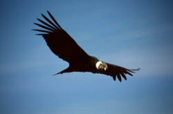 Condorul californian, cea mai rara specie de pasari