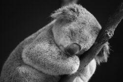 """Autoritatile din Australia au ucis sute de ursi koala """"pentru a preveni suprapopularea"""""""
