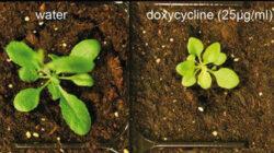 Antibioticele afecteaza puternic cresterea acestei plante, A. thaliana.