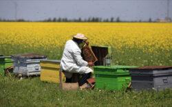 10 % din speciile de albine salbatice din UE sunt in pericol de disparitie