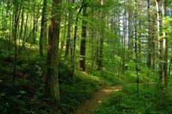 Arborii batrani absorb mai mult dioxid de carbon decat cei tineri