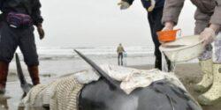 Aproximativ 150 de delfini au esuat pe o plaja din Japonia