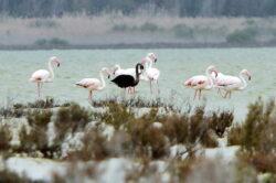 Un flamingo negru a fost vazut in Cipru si este posibil sa fie unicul de acest gen din lume