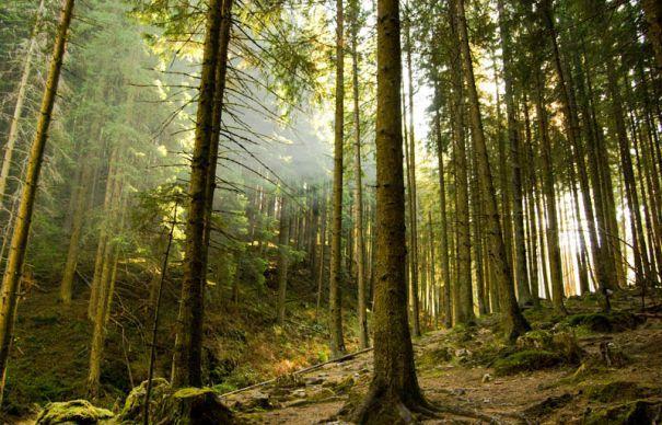 Ecologiştii avertizează: Holzindustrie Schweighofer recompensează lemnul tăiat ilegal. Austriecii se apără